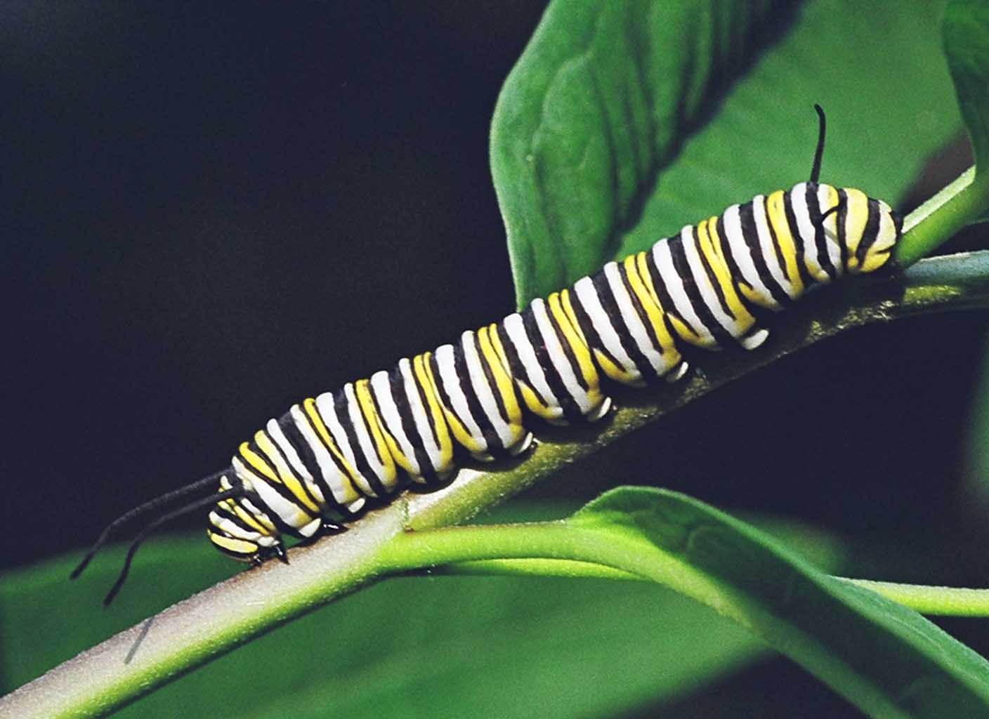 caterpillar research paper Caterpillar research paper 2324 words | 10 pages running head: research paper: caterpillar 1 research paper: caterpillar david m adkison american military university research paper: caterpillar abstract the topic of my research was the global management expertise and effectiveness of the.
